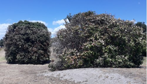 Poisoned pōhutukawa trees saddens community and Council